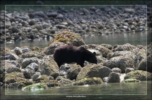 Bear Watching Tour Tofino